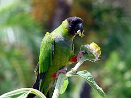 The Nanday conure is among the 10 most popular types of conures