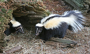 English: Striped Skunks (Mephitis mephitis)