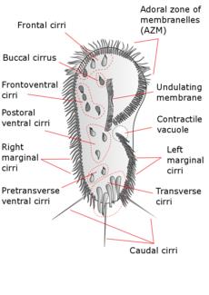 labelled diagram of water cycle 1998 dodge ram 1500 radio wiring stylonychia - wikipedia