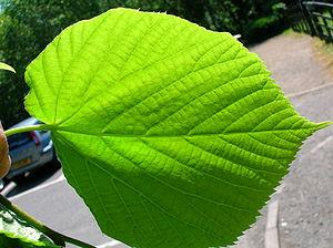 The leaf lower epidermis of Tilia × europaea T...