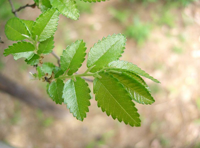 File:Ulmus parvifolia5.jpg