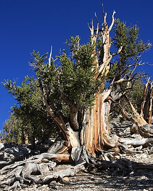 English: Big bristlecone pine (Pinus longaeva)...