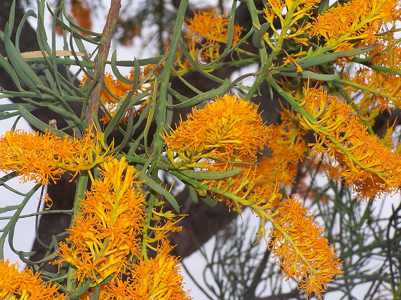 File:Christmas tree 02 gnangarra.jpg