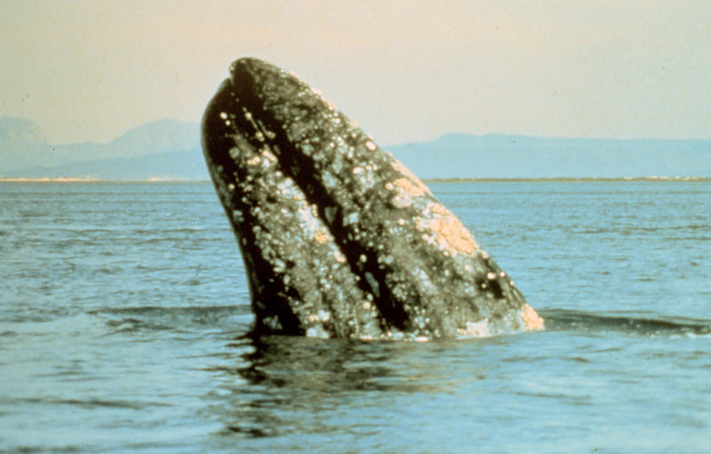 File:Gray whale.jpg
