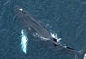 Humpback Whale (Megaptera novaeangliae), two b...