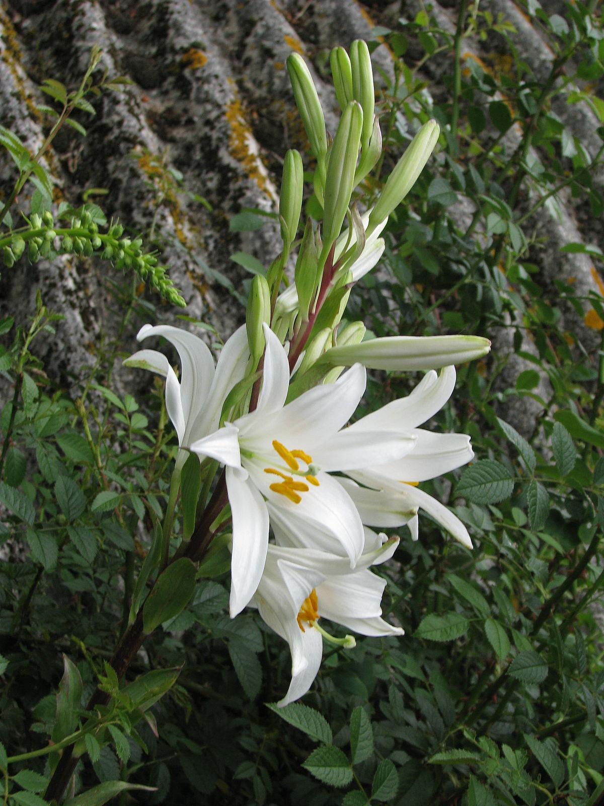 Lilium candidum  Wikipedia