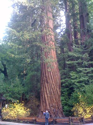 Redwood Sequoia sempervirens