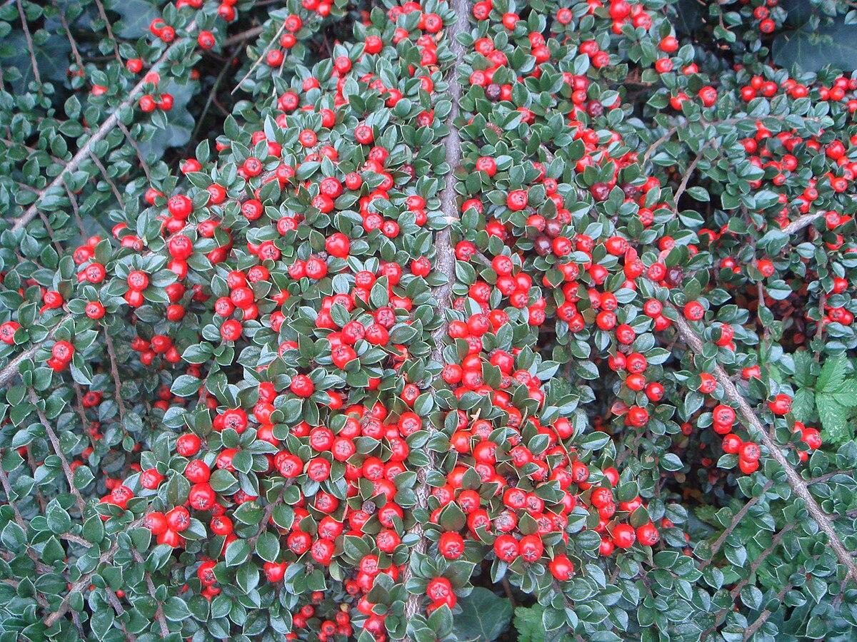 Cotoneaster atropurpureus  Wikipedia
