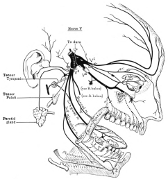 diagram of side of face [ 1200 x 1287 Pixel ]