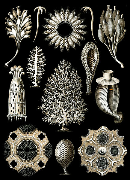File:Haeckel Calcispongiae.jpg