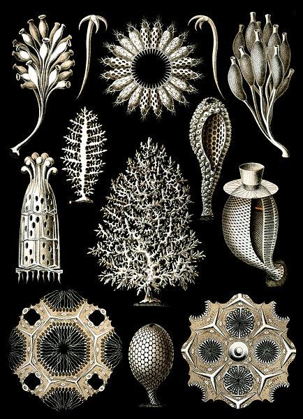 File:Haeckel Calcispongiae.jpg