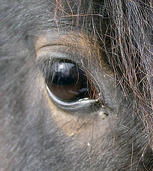 Photo of the eye of a young Arabian horse