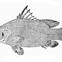 Labelled Diagram Of A Tilapia Fish Jeep Cherokee Stereo Wiring Nile Perch Wikipedia