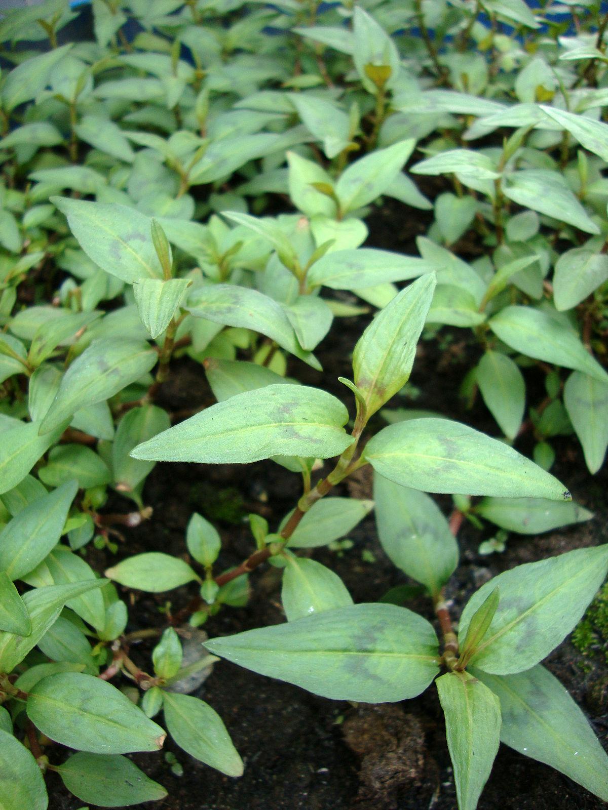 Persicaria odorata  Wikispecies