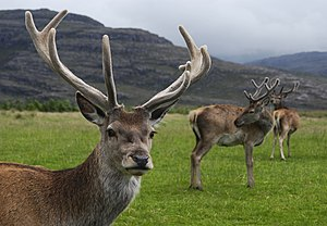 Red deer stag (Cervus elaphus) with velvet ant...