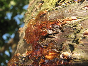English: Resin on the bark of a cherry tree