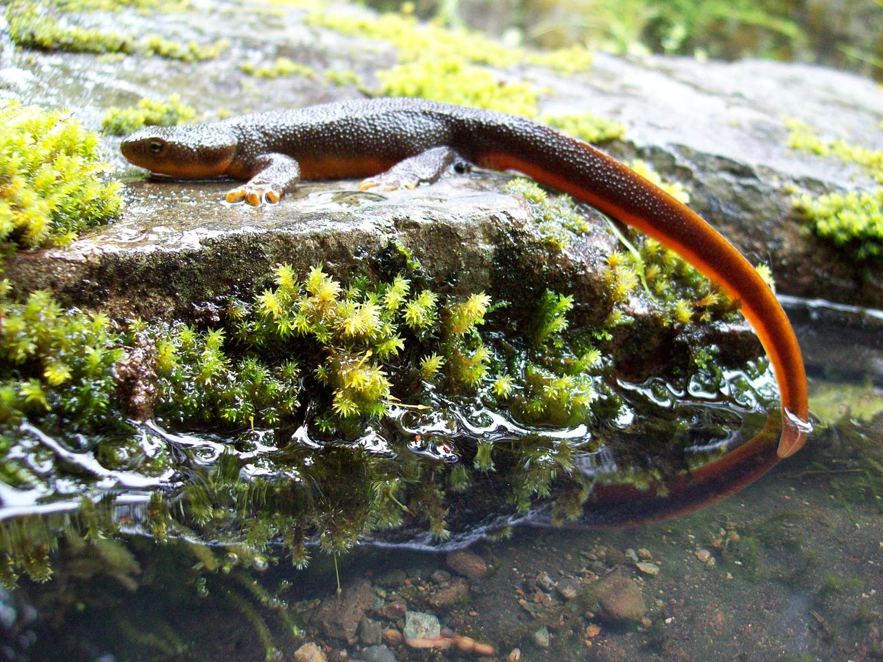 how to avoid being poisaned by a newt