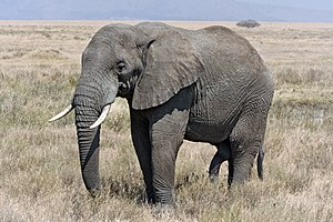 Male African Bush Elephant in Serengeti. Franç...