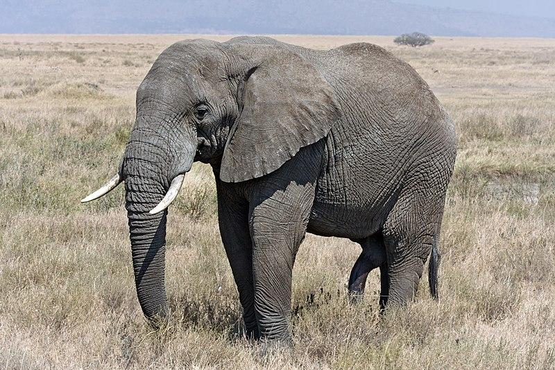 Proboscidea - African Elephant