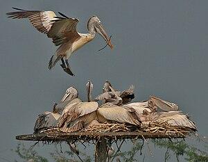 Spot-billed PelicanPelecanus philippensis in U...