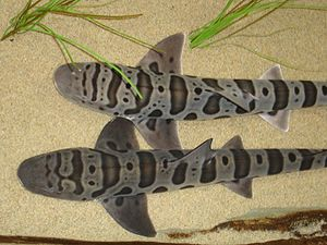 Leopard sharks (Triakis semifasciata) at the A...