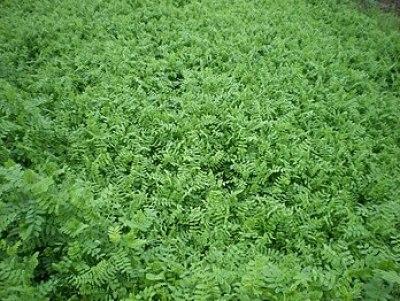 English: cover crops: vicia Deutsch: Zum Zweck...