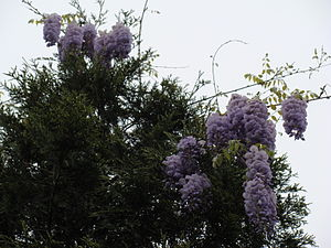 English: Wisteria frutescens