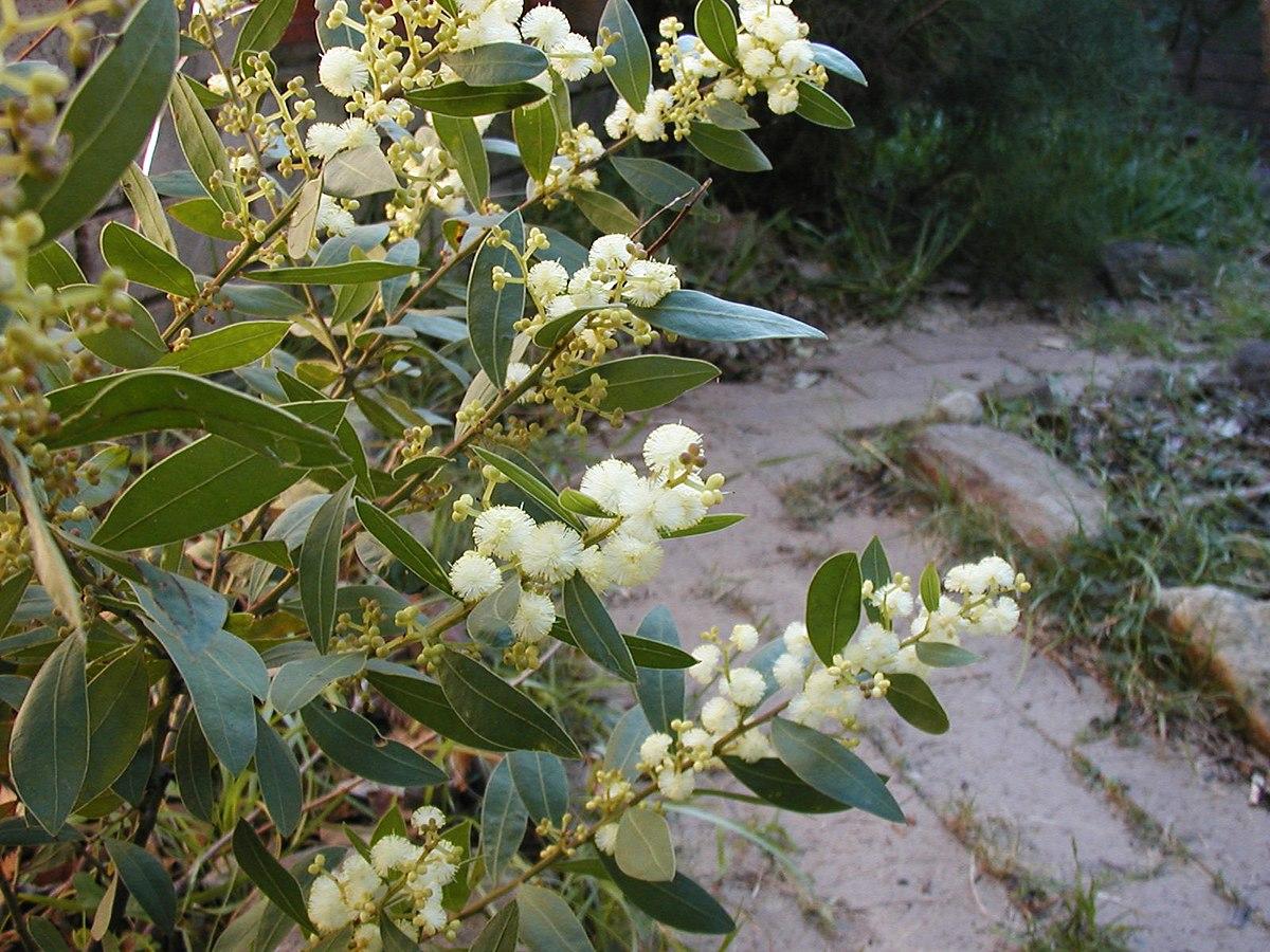 Acacia myrtifolia  Wikipedia