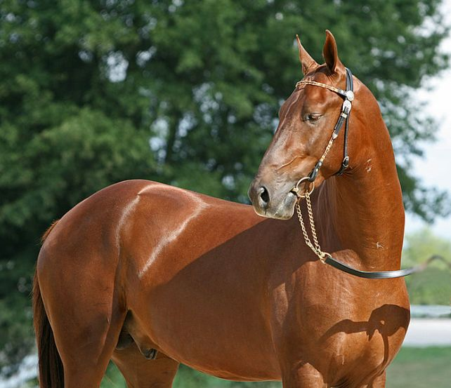 Akhal Teke stallion, with its signature sheen.