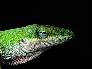 Male Carolina Anole with partially expanded de...