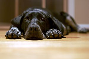 "English: Black dog lying on the floor – ""..."