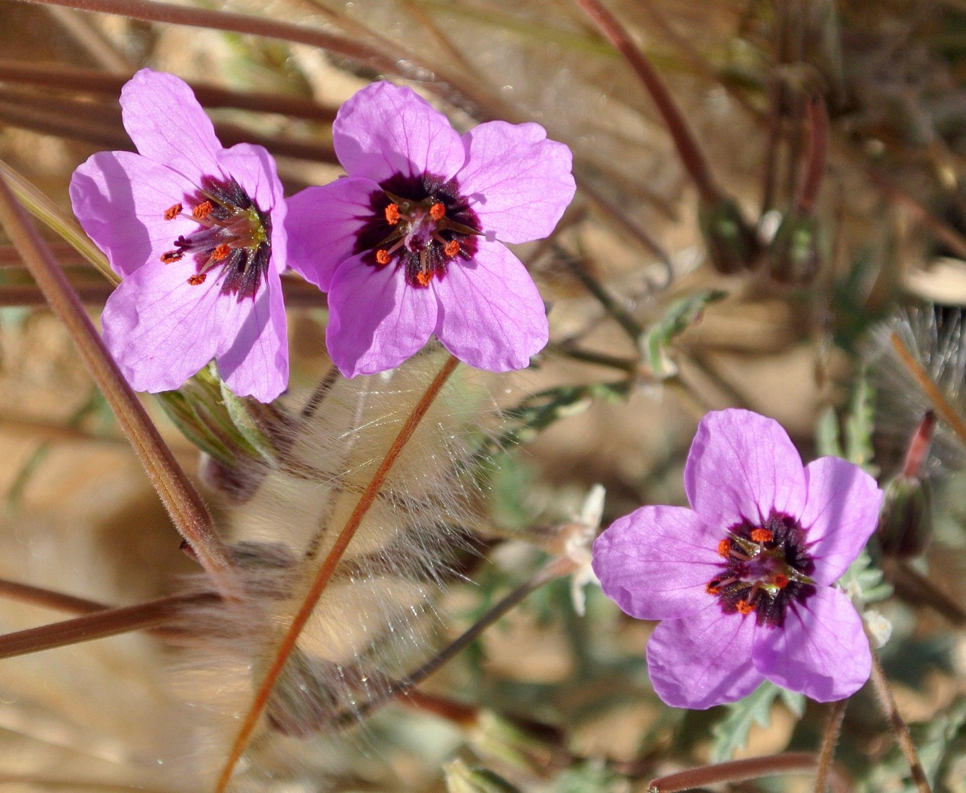 Erodium Cicutarium Wikipedia