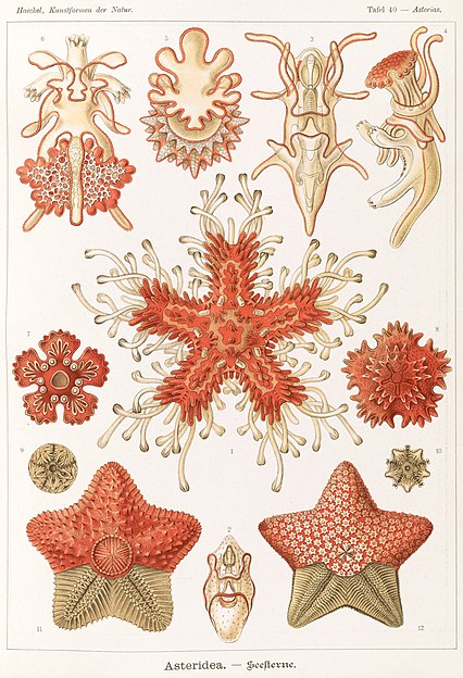 Echinoderms, some of which have pentagonal symmetry