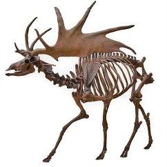 Diagram Of Whitetail Deer Skull Single Phase Capacitor Run Motor Wiring Irish Elk Wikipedia