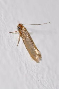 English: Common Clothes Moth in Altona, Hambur...