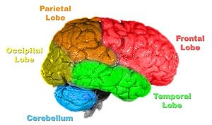 Lobes of the brain, color-coded.