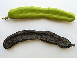Algarroba verde y madura (fruto del algarrobo)