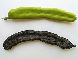 Dried Carob is often eaten on Tu Bishvat, alth...