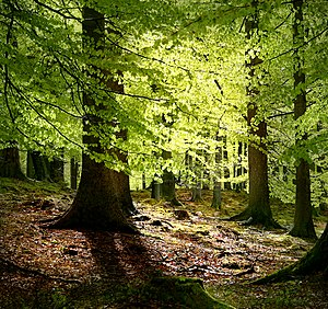 New beech leaves, Grib Forest in the northern ...