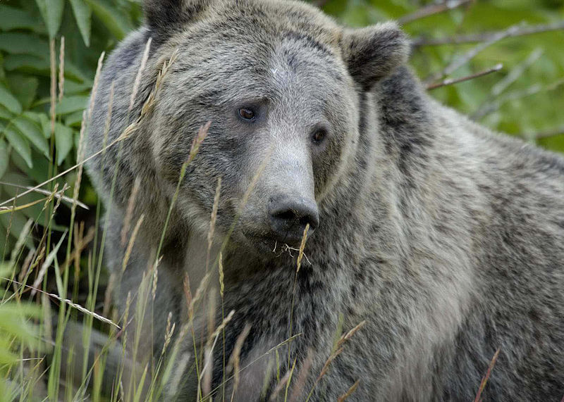 File:Grizzly Bear Yellowstone.jpg