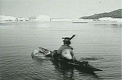 Caçador a caiaque transportando um urso na Groenlândia.