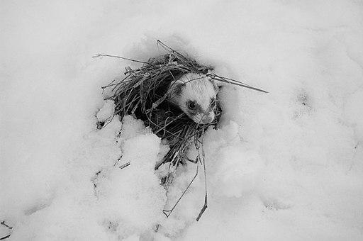 Mustela putorius furo (fretka) na śniegu