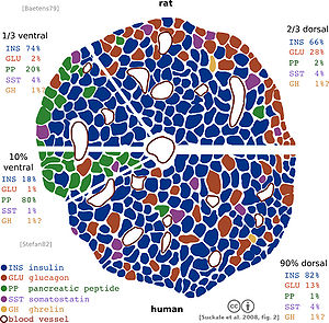 English: schematic of cellular composition of ...