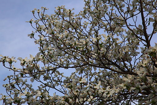 White-dogwood-tree-sky-spring - West Virginia - ForestWander