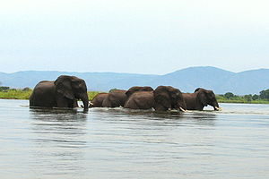 Zambezi – Elephants crossing the river 12.11.2009