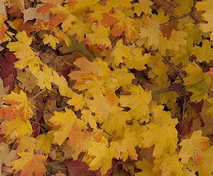 Acer grandidentatum fall leaves. 4th of July C...