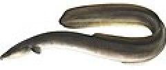 American Eel.jpg
