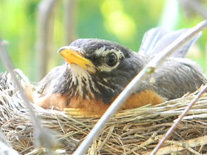 English: American Robin in Nest lies on the eg...