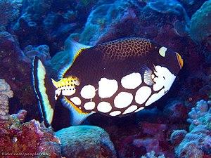 A Clown Triggerfish (Balistoides conspicillum)...
