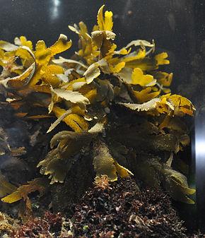 algues fucus